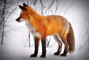 fox-5719159_1920